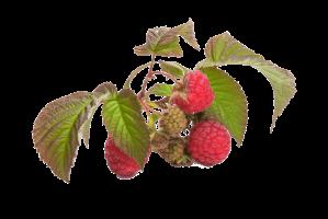 red fruit raspberry
