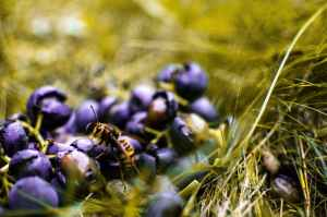 yellow wasp on blueberry