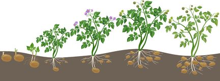 potato-plant-growth-cycle-white-background