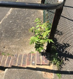 Tree sapling growing near the stairs on the path towards the football pitch. It is a tree that nobody removes and can grow to 20m in height.