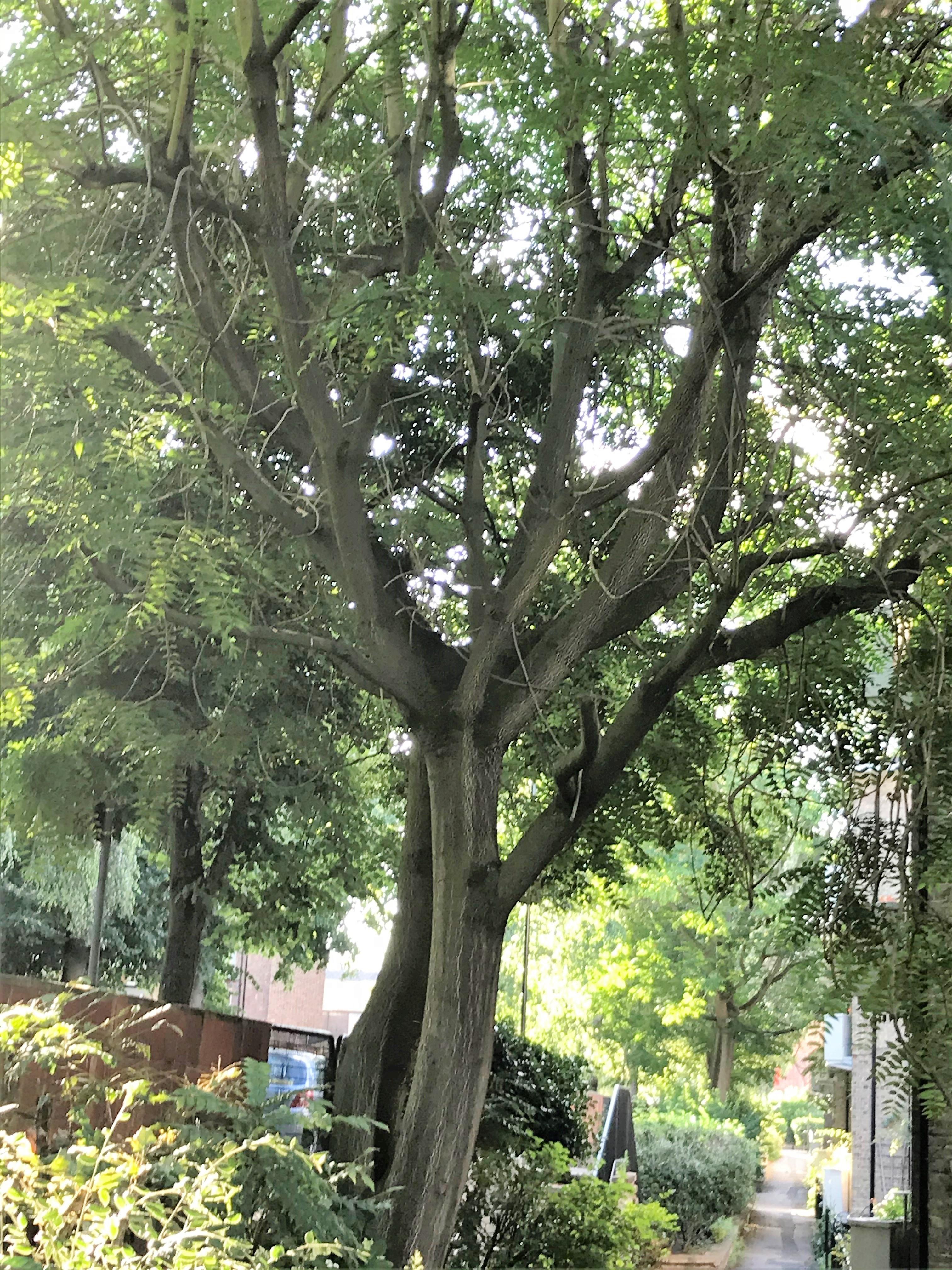 canopy-Rosebery
